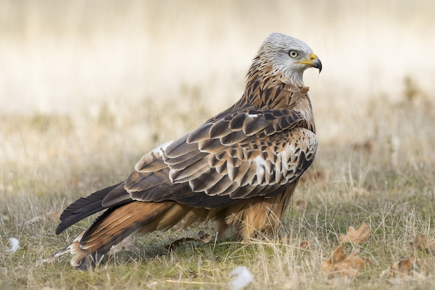 Red-tailed hawk walking in a grassy field during daytime