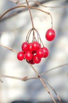 Red tassel guelder rose.