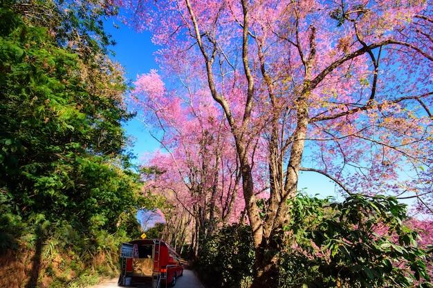 レッドタクシーチェンマイサービス野生のヒマラヤ桜の木、クンチャンキアンチェンマイタイ