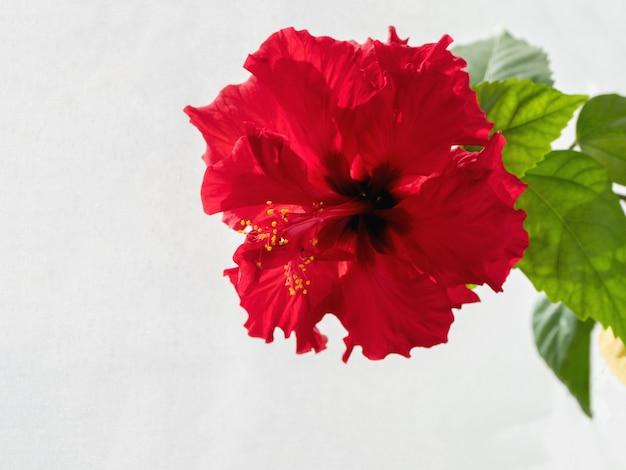 白いテーブルに赤いテリー中国ハイビスカスの花