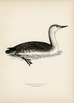Red-thoated loon (colymbus stellatus) illustrated by the von wright brothers.