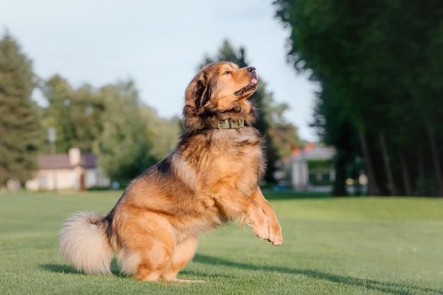 緑の草の上の赤いチベタンマスティフ犬