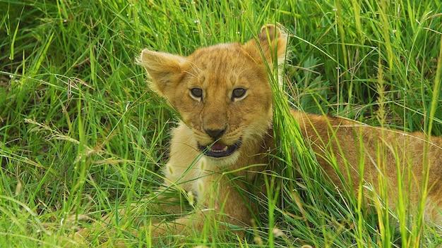 赤虎の子は緑の草の中にあります