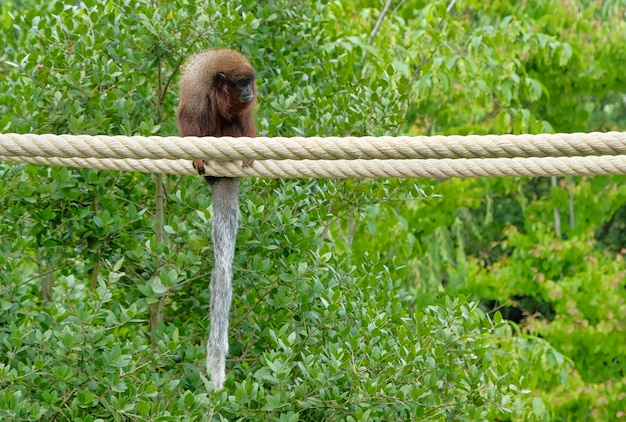 Red titi monkey climbing on a branch in natural habitat