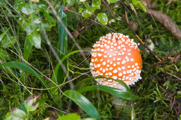 Red toadstool in forest