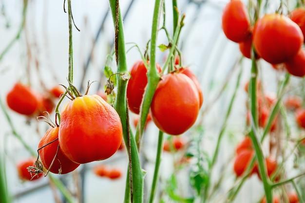온실에서 자라는 잎이 없는 식물에 있는 빨간 토마토