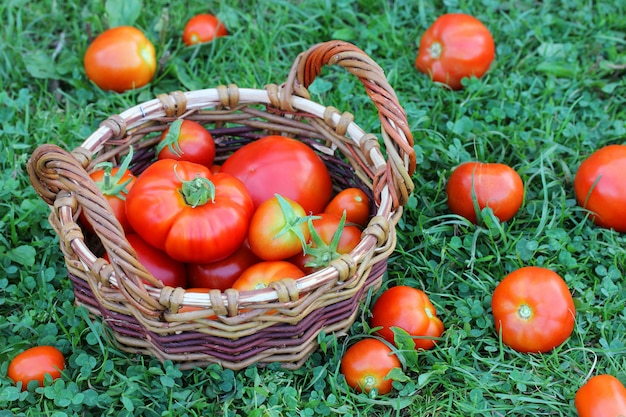 草の上のバスケットに赤いトマト。
