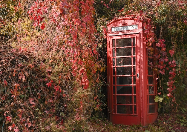 Red trailing ivy starting to cover a telephone box in rural devon