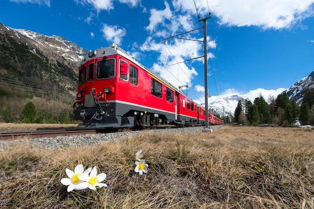 The red train of the bernina express passes near pontresina in spring