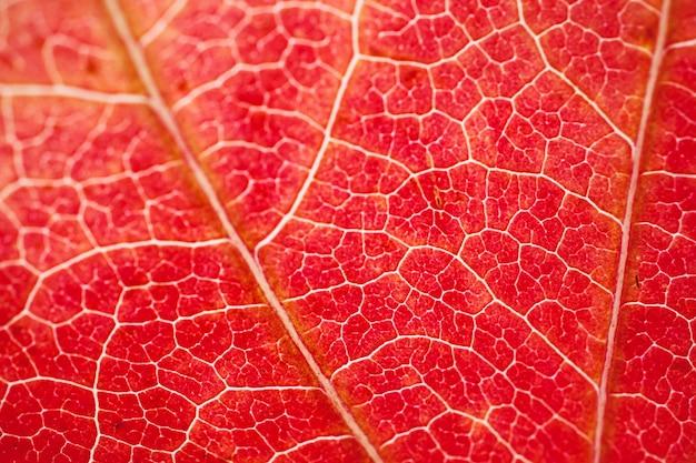 秋の紅葉、紅葉のテクスチャ、赤い酷似