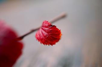 自然の中で赤い木の葉
