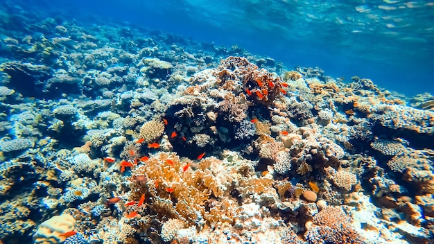 Red tropical fish hide in corals at the bottom of the sea.