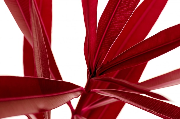 Red tropical plant leaves close up isolated on white background. high contrast creative nature .