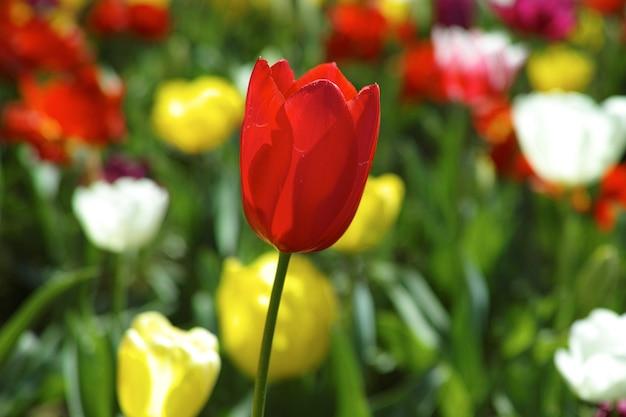 Красный тюльпан крупным планом