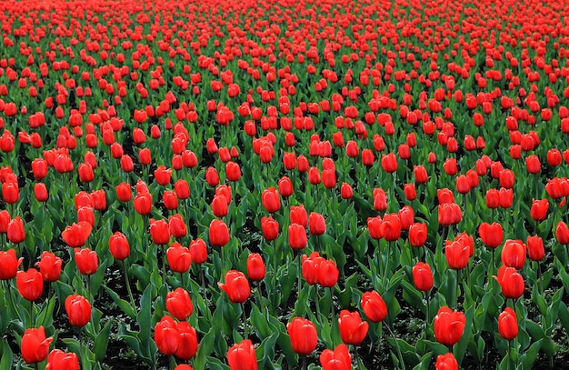 Red tulip field large, red flowers with green leaves. background of flowers.