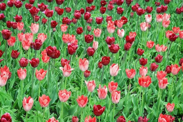 빨간 튤립 필드 프리미엄 사진