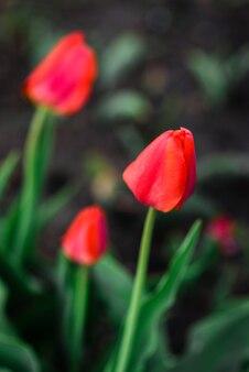庭に生えている赤いチューリップの花