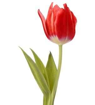 흰색 배경에 고립 된 빨간 튤립 꽃 머리