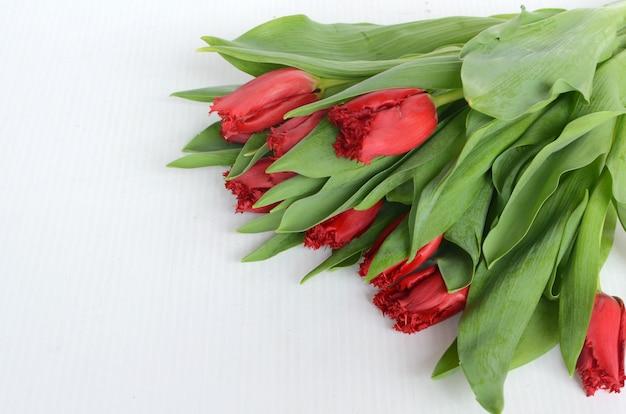 흰색 바탕에 빨간 튤립 꽃