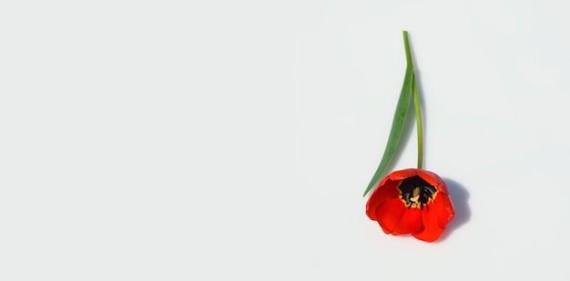 Красный тюльпан цветок с жесткой тенью яркий свет изолированные на сером фоне баннер копия пространства вид сверху