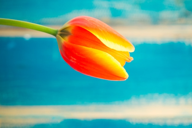 Red tulip flower on wooden background