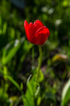 Red tulip in the garden on a sunny spring day. vertical. beauty and life.