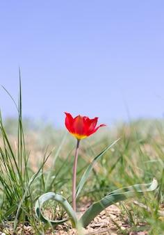 Красный тюльпан в степи
