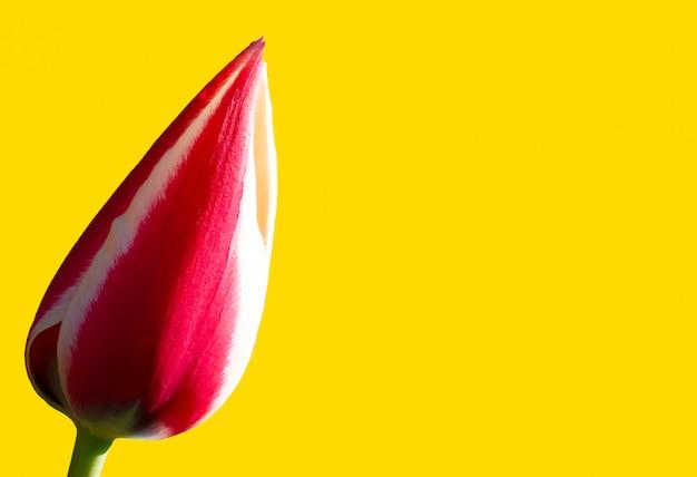 黄色のバナーの背景に赤いチューリップ。美しい花。