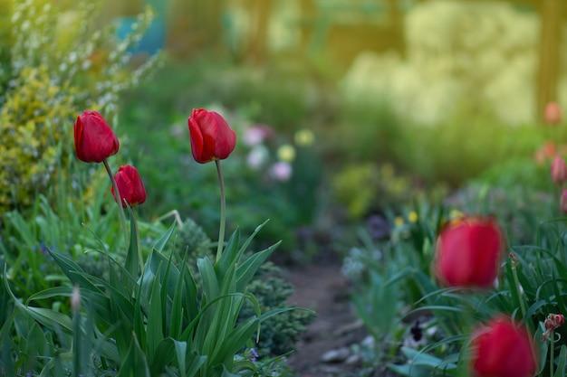 Красный тюльпан на зеленом фоне