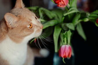 Red tulip touches nose of a fluffy cat