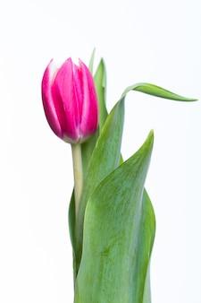 Красный тюльпан с зелеными листьями на белом