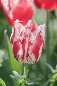 Red tulip with white fringe in garden rembrandt