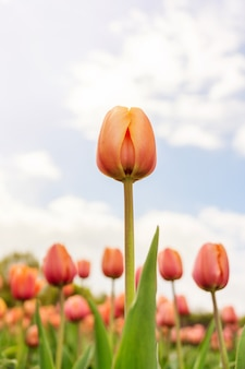 Red tulips against the sky