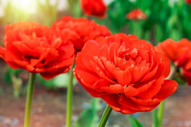 庭には赤いチューリップが咲いています。閉じる。花の背景。調色