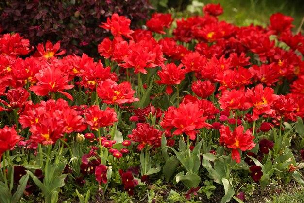 庭に咲く赤いチューリップ花の頭がたくさんあります