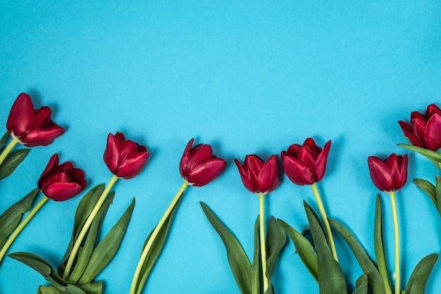 Red tulips on a blue background