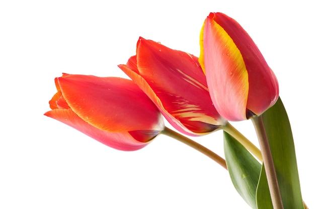 Букет красных тюльпанов с росой на белом