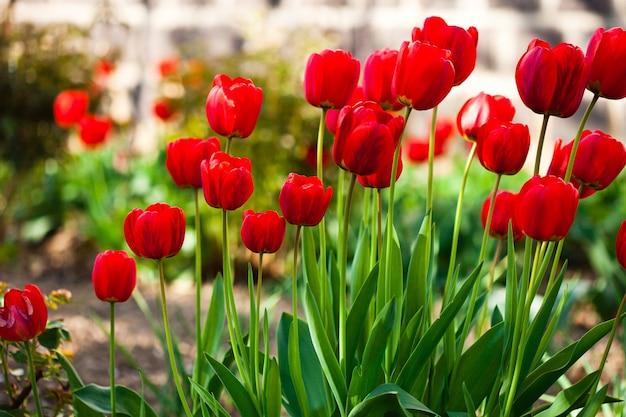 春の赤いチューリップの花壇のクローズアップ