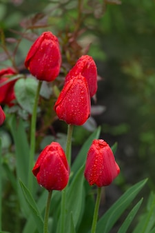 Red tulips growing on the field