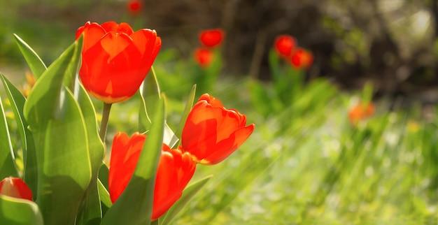 庭の花壇にある赤いチューリップが太陽光線に照らされています