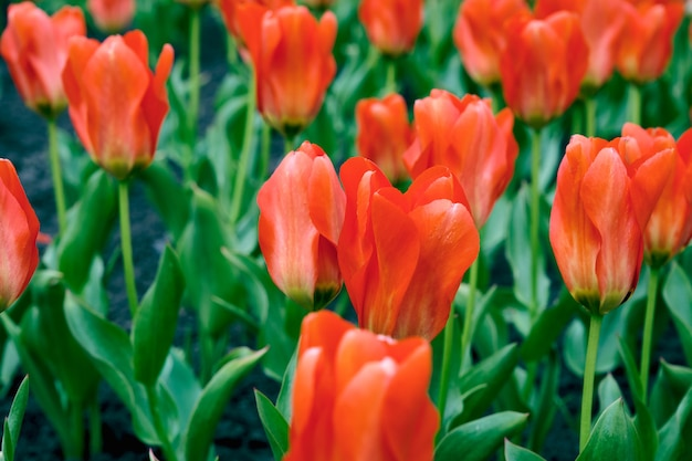 정원에서 빨간 튤립입니다. 정원에서 햇빛이 넘치는 빨간 튤립의 아름다운 새싹