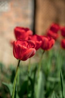 庭の赤いチューリップ