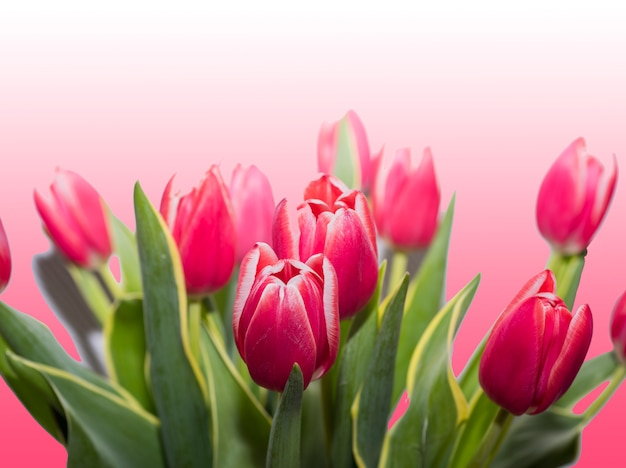 バラの背景に分離された赤いチューリップ。