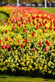 Red tulips near buckingham palace in london