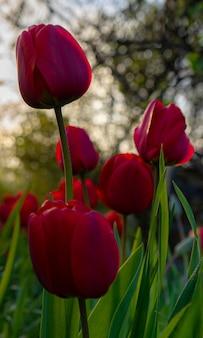 夕日に照らされた花壇の赤いチューリップ