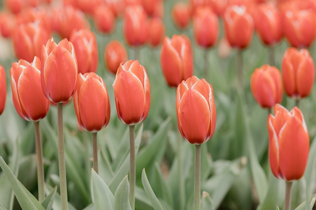 Red tulips representing the spring season. farm of tulips.