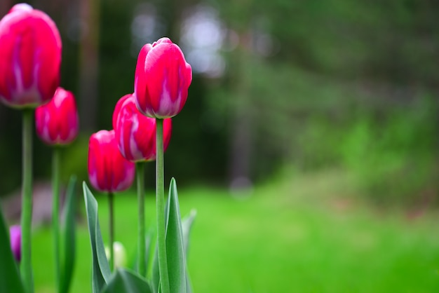 Red tulips on a wall of green garden