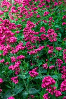 Red valerian in garden