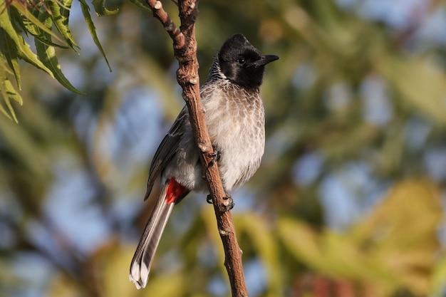 Птица-бюльбюль с красной вентиляцией сидит на ветке дерева