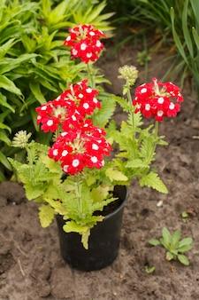 빨간 버베나는 정원에 있는 플라스틱 화분에 핀다. 배경에 푸른 잔디와 버베나 꽃입니다. 아름다운 꽃이 만발한 버베나.